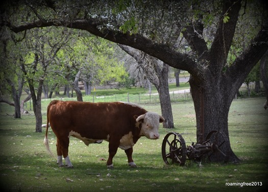 Bull in the yard