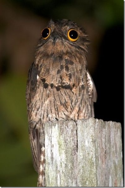 potoo-birds-eyes-10