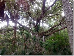 Big gnarly oak