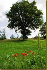 quercia e papaveri