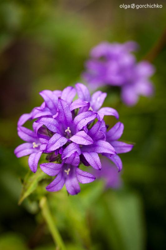 letniye cvety_2