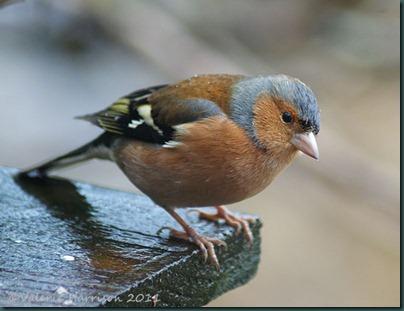 3-chaffinch