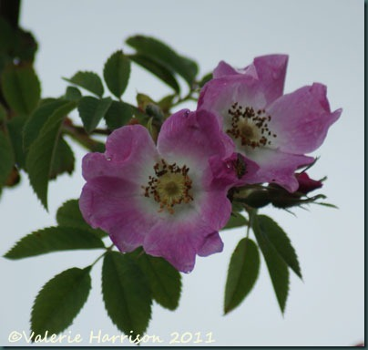 6-dog-rose