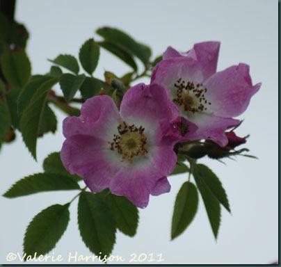 6-dog-rose
