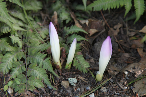 Look, Franny, fall crocus flowers are blooming and it isn't even autumn yet!