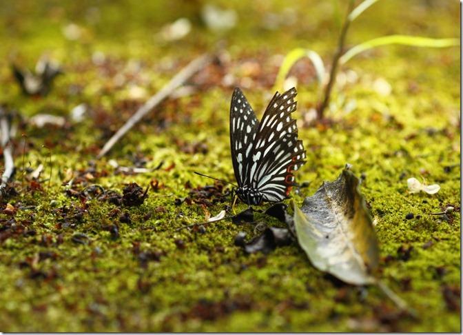 紅星斑蛺蝶