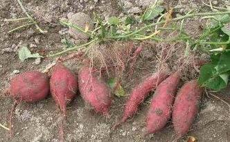 Ipomoea batatas root