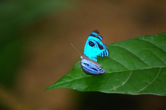 Semomesia capanea CRAMER, 1779. Crique Tortue, près de Saut Athanase (Guyane). 22 novembre 2011. Photo : J.-M. Gayman