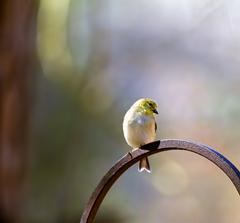 Kleb Woods Goldfinch 2