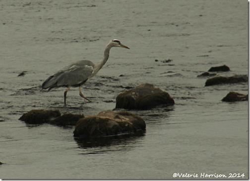 6-Heron