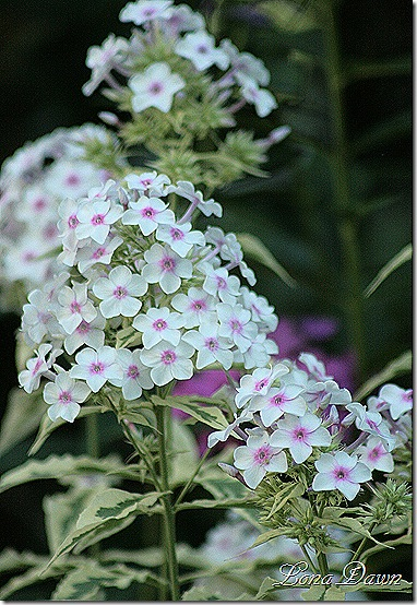 Phlox_NoraLeigh