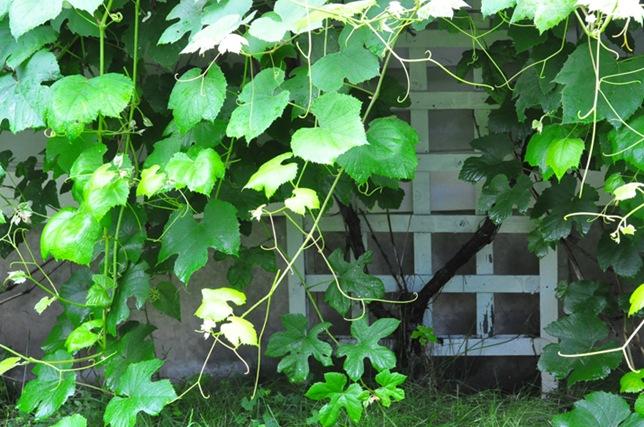garden_vines