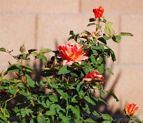 2. roses-kab