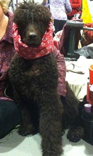 Her Snood helps keep this Irish Water Spaniel's ears clean and dry