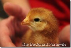 chicks 01