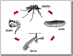 ciclo-vida-mosquito