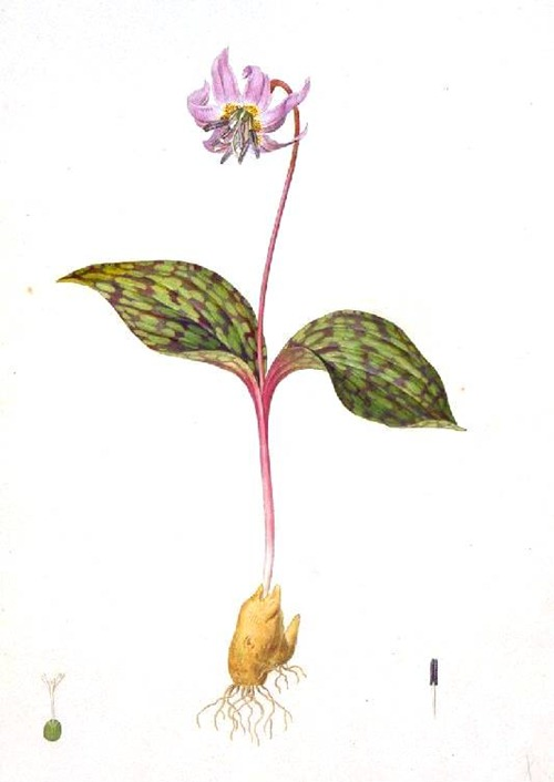 Botanical-Flower-Erythronium-Dens-Canis[1]