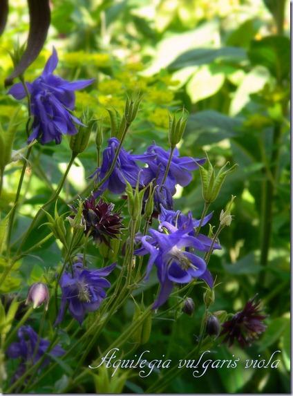 Aquilegia vulgaris viola