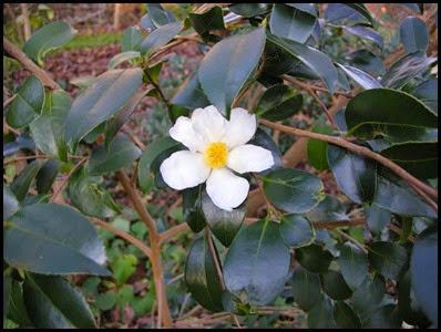 camellia5