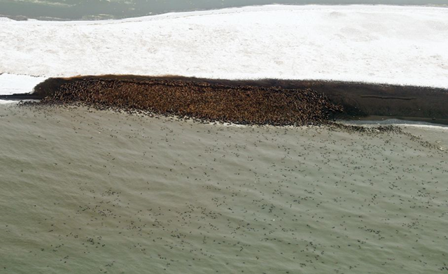 This 27 September 2013 image provided by NOAA Fisheries shows thousands of walruses hauling out on a remote barrier island in the Chukchi Sea near Point Lay, Alaska. An estimated 10,000 Pacific walrus have gone ashore on Alaska's northwest coast and are bunched along a beach near the village of Point Lay. The National Marine Fisheries Service says 1,500 to 4,000 walrus were counted Sept. 12 and numbers had swollen to 10,000 on Friday, 27 September 2013. Photo: Stan Churches / NOAA Fisheries