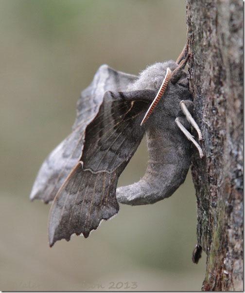poplar-hawkmoth-4
