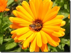 včely na květech 047