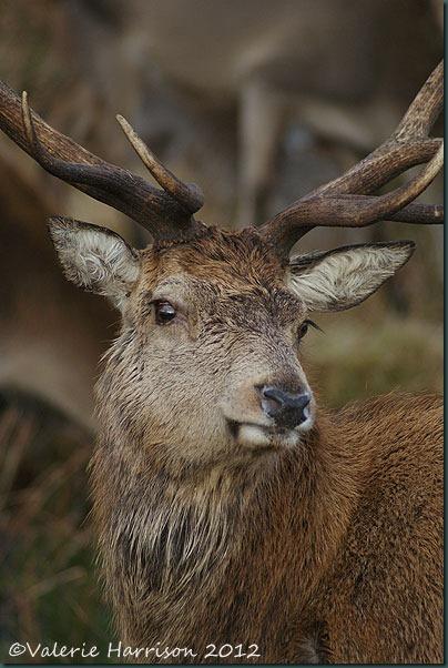32-red-deer