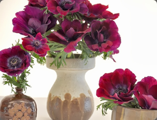 anemone 'galleryWinter02 holly flora