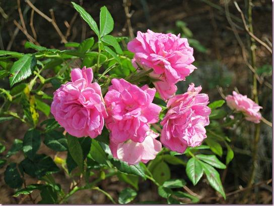 RosesIMG_0798
