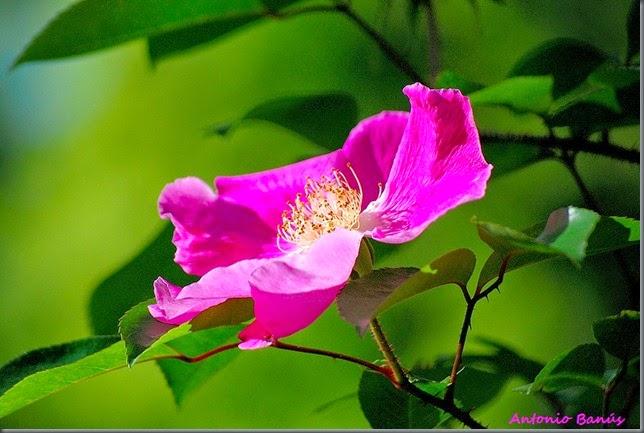 anemone rose DSC_9098x1