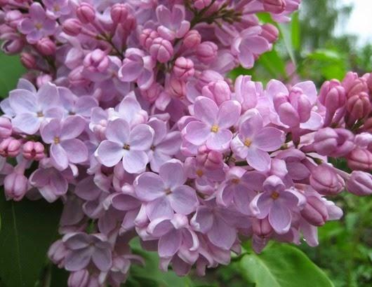 lilac11
