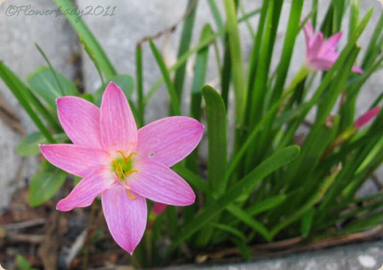 10-23-rain-lillies