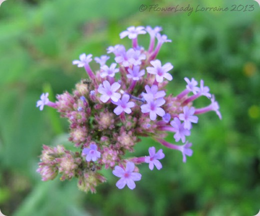 06-16-purple-top-verbena