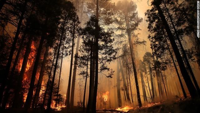 Flames from the Rim Fire destroy trees on Sunday, 25 August 2013, near Groveland, California. The fire had consumed nearly 134,000 acres as of Sunday. Photo: Justin Sullivan / Getty Images