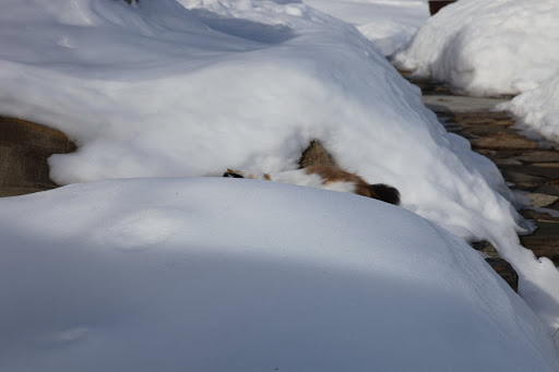And now, a visual confirmation!  Those calico colors don't exactly blend in with a snow bank.