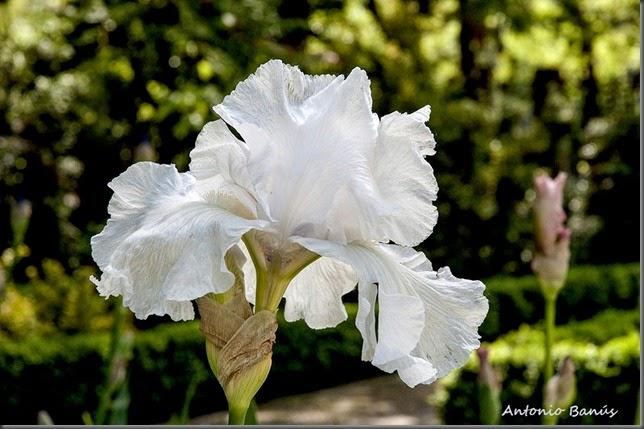 3 iris frison - roche _dsc7635x1