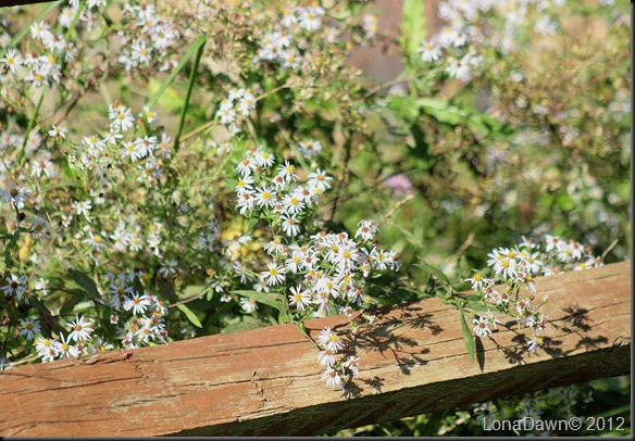 CF_Asters_Fence