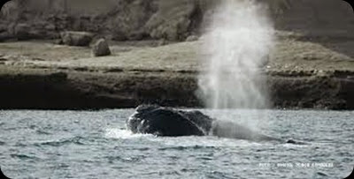whales in patagonia2