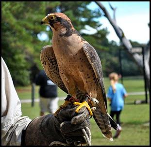 05c - Lanner Falcon