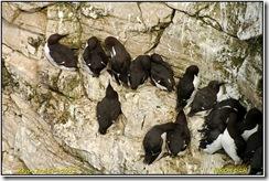 Bempton Cliffs D2h  05-05-2012 15-02-021