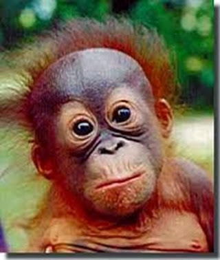 Amazing Pictures of Animals, Photo, Nature, Incredibel, Funny, Zoo, Bornean orangutan,Pongo pygmaeus, Primates, Alex (1)