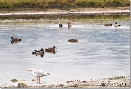 Mallard, Gadwall and Glaucous-wing Gull