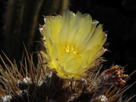 Floare de cactus Lanzarote