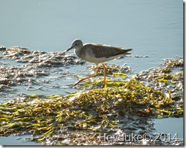 Lesser Yellowlegs 045