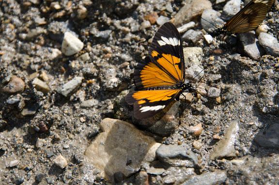 Actinote anteas crassinia (HOPFFER, 1874). Près de Coroico à 1004 m d'alt. (Yungas, Bolivie), 14 octobre 2012. Photo : C. Basset