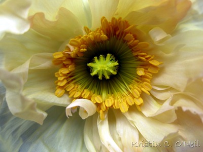 Ideas in Bloom Poppy