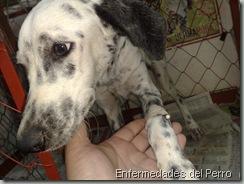 Parvovirus canino (1)