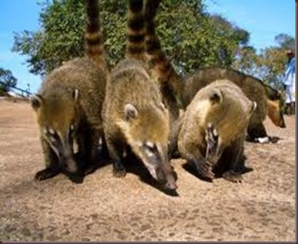 Amazing Pictures of Animals Coati Nasua. Alex (7)