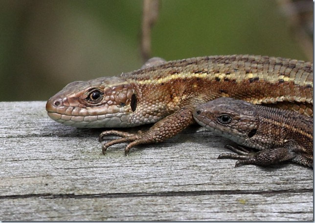 common_lizards2