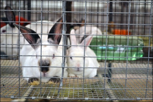 4H rabbits